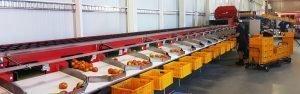 Tomato sorting machine for Australia